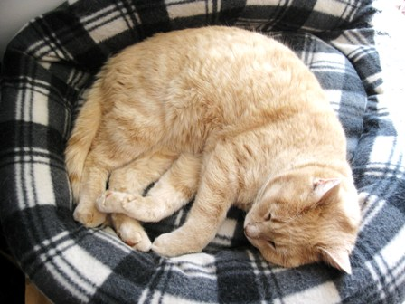 Goofus, a rescued strawberry-blonde tabby, is curled up in his bed: photo by Rich Hill