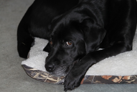 Hunter, a black Lab guide dog, is looking out from his bed under the table: photo by Rich Hill