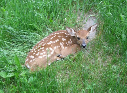 A very young fawn in the grass just east of our house: photo  by rich hill