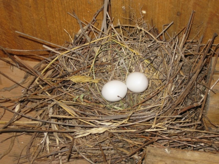 Dove eggs in nest inside shelter near pond in Pennsylvania's Endless Mountains: photo by Rich Hill