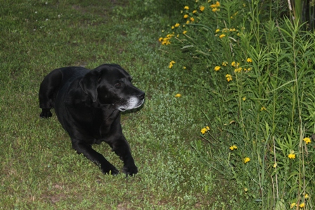 Black Lab Hunter on pond-berm trail w blooming birdsfoot trefoil showing his gray summer 2013: photo  by rich hill
