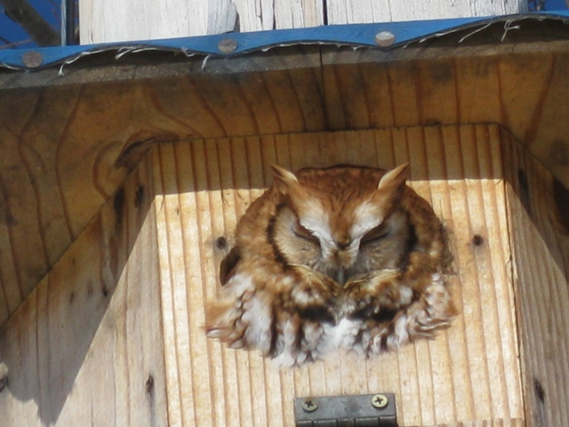 A Screech Owl Looks Out from  a House Built for Wood-Ducks. Photo by Rich Hill.