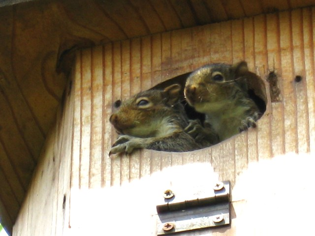 Baby squirrels peering out of duck house high above Hill's pond: photo by Rich Hill.