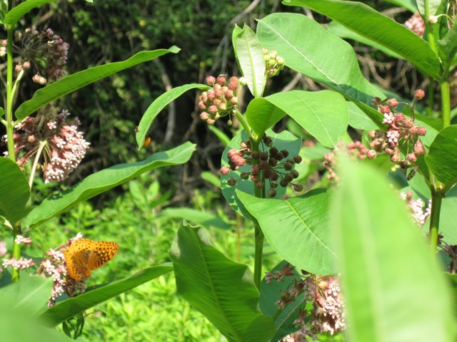 Butterfly on Milkweed Flowers in Various Stages of Bloom:  photo by Rich Hill.