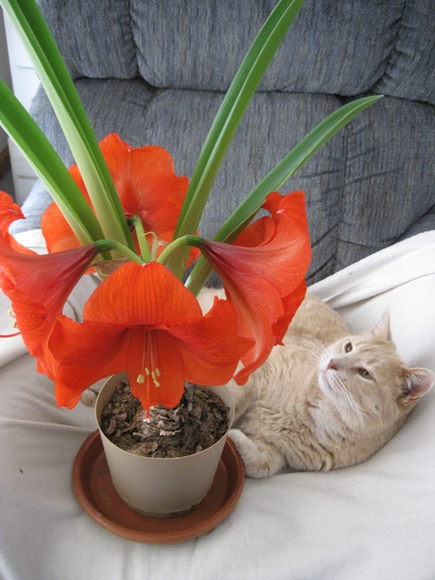 Strawberry Blonde Tabby with Blooming Amaryllis in Lazy Boy: photo by Rich Hill