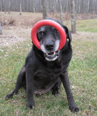 Hunter, Donna's black Lab guide dog, has found a new way to carry his red rubber Ring. It's in his mouth but flipped up over his face: photo by Rich Hill.