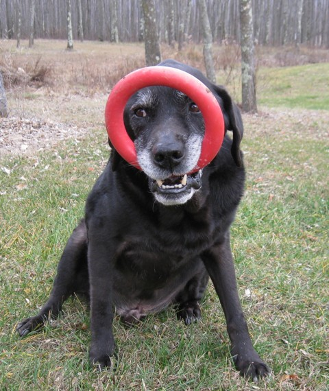 Hunter, Donna's black Lab guide dog, has found a new way to carry his red rubber Ring. It's in his mouth but flipped up over his face: photo by Rich Hill