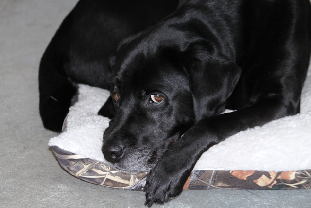 Donna's black Lab guide dog Hunter watches from his bed, as his Mom writes stuff like this instead of paying attention to him: photo by Rich Hill.