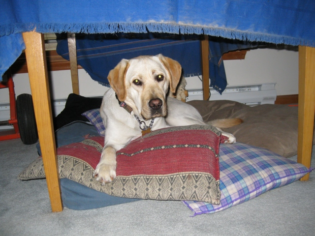 A sneak peak at Mo, my new male yellow Lab guide dog: photo by Rich Hill