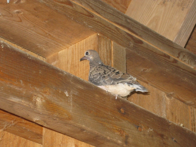 Dove baby in Hill's Pond Shelter: photo by Rich Hill