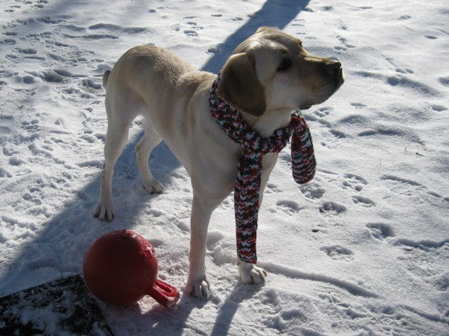 Male yellow Lab guide dog, Mo, outside with red jolly ball, wearing sparkly xmas scarf: photo  by rich hill