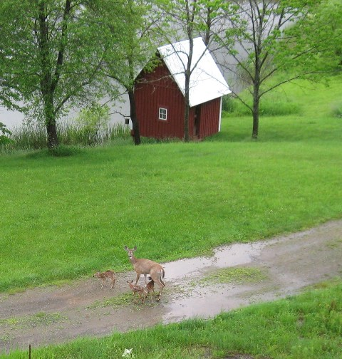 These three fawns were born east of Hills' house on 5/28/19. They are so young, they can barely stand up, and their Mom had to stand downhill from them, so they could reach her to nurse: photo by Rich Hill.